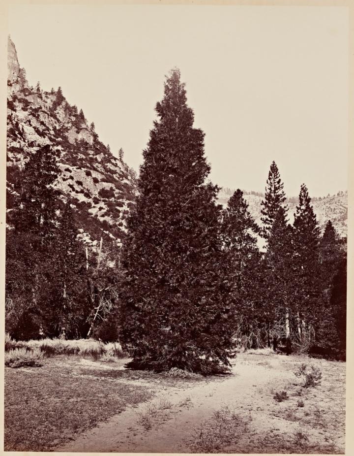 1 CEW, Douglas Fir (Librocedrus decurrens), Yosemite, 1865-66, SUL 1100