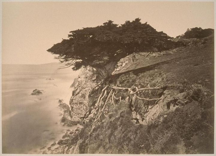 15 CEW, Cypress at Point Lobos, Monterey County, ca. 1882-85, PAHMA
