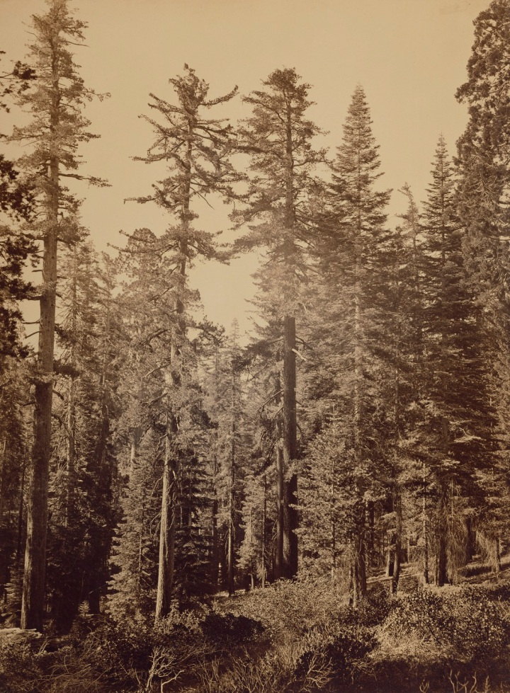 3 CEW, Sugar Pines near Yosemite Valley (Pinus lambertiana), 1865-66, JPGM 1100