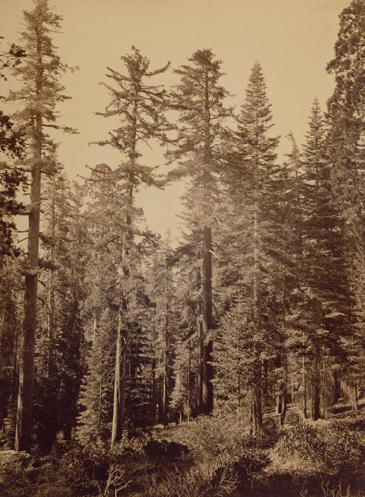 3 CEW, Sugar Pines near Yosemite Valley (Pinus lambertiana), 1865-66, JPGM 1100