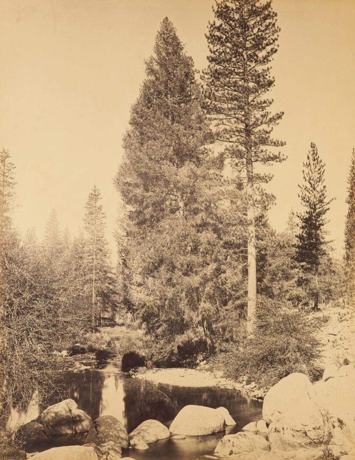 4 CEW, Douglas Fir (Librocedrus decurrens) and Ponderosa Pine (Pinus ponderosa) at Clark's, Yosemite, 1865-66, JPGM 1100