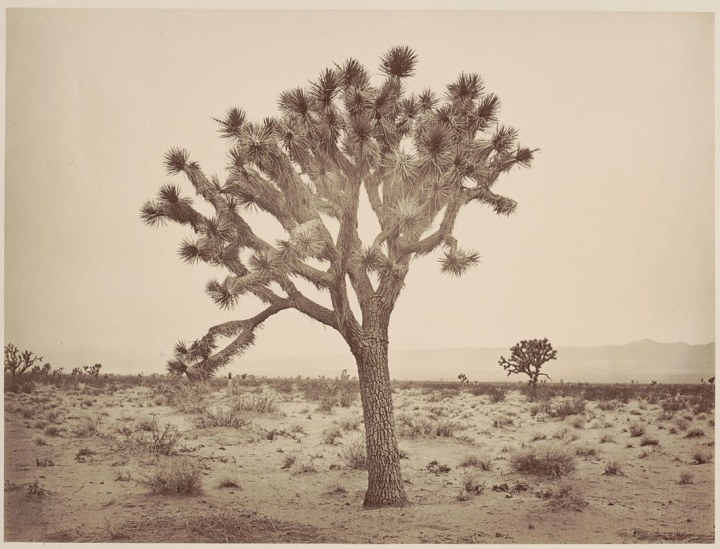 4 CEW Paper Tree, Yucca draconis, Mojave Desert, LA County, Calif., 1877, BANC