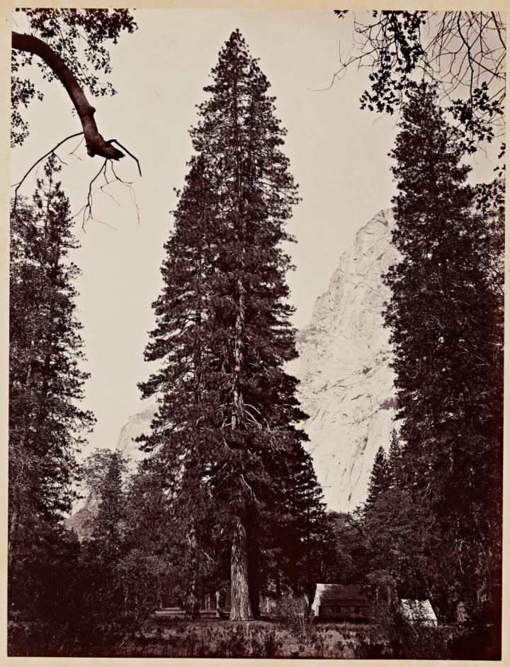 5 CEW, Ponderosa Pine (Pinus ponderosa), Yosemite, 1865-66, SUL 1150