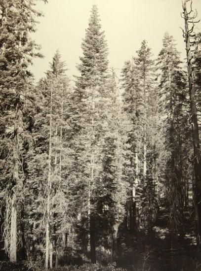 7 CEW, Amabilis Fir, Mariposa Grove, Yosemite, 1865-66, MFAH