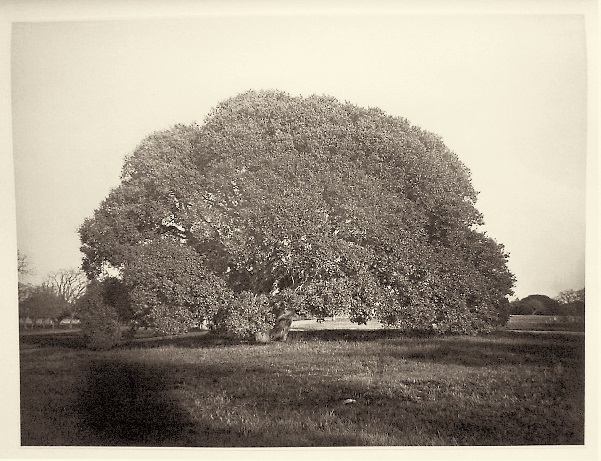 8 CEW California Live Oak on the John Parrott Estate, San Mateo County, ca. 1872, Tokyo Fuji Art Museum