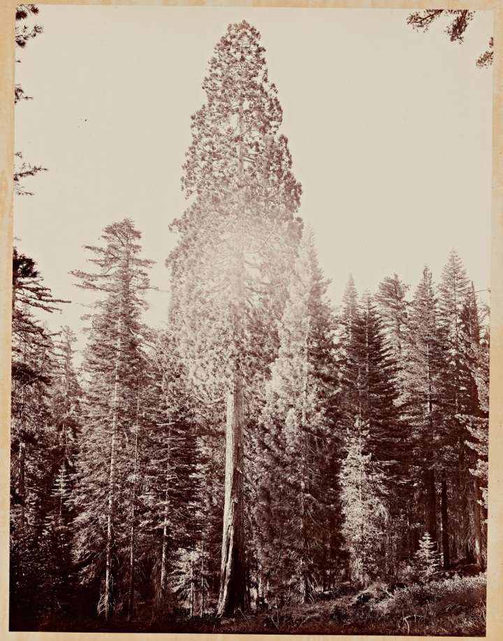9 CEW, A Perfect Tree (Sequoia gigantea), Mariposa Grove, Yosemite, 1865-66, SUL 1200