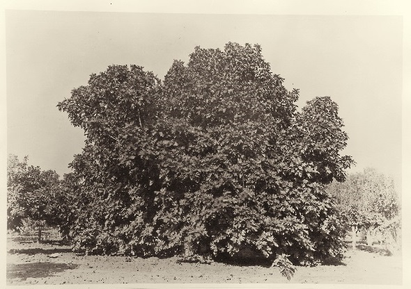 Carleton Watkins, Fig Tree, Tejon Ranch, ca. 1887-89, HEH.jpg