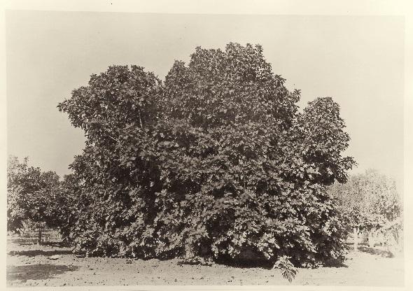 Carleton Watkins, Fig Tree, Tejon Ranch, ca. 1887-89, HEH.jpg